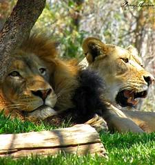 Lions Den (balderson626) Tags: africa male animals zoo pretty wildlife lion southerncalifornia handsom mygearandme ringexcellence