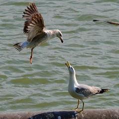 Goélands leucophée (larus michahellis) (pablo 2011) Tags: birds ngc toulouse garonne oiseaux larusmichahellis laridés nikonflickraward collectionnerlevivantautrement