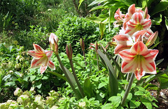 Amaryllis in my garden (Marlis1) Tags: amaryllidaceae marlis1 hippeastrumvittatum mediterraneangardens tortosacataluaespaa canong15 amaryllissp