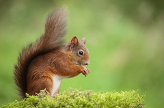 Red Squirrel (forbesimages) Tags: red squirrel fife wild nature