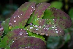 The Weather Scene. (Omygodtom) Tags: oregongrape raindrop waterdrops macro macromonday bokeh outdoors tamron90mm texture tamron wow adventure country nature nikon natural f28 d7100