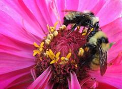 Tte--tte (sharis snaps) Tags: bee bumblebee zinnia nature