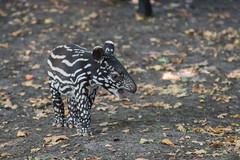Indische Tapir Jong_01 (Nick Dijkstra) Tags: acrocodiaindica artis indischetapir jong malayantapir maleisetapir schabrackentapir tapiradosblanc tapirusindicus