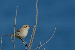 Red-backed Shrike Lanius collurio Samos  Greece 7 (JohnMannPhoto) Tags: redbacked shrike lanius collurio samos greece bird