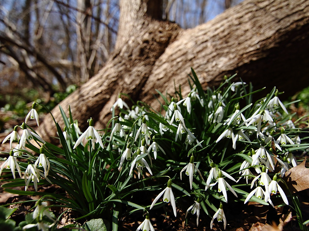 Snowdrops -- Spring Flowers