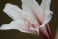 Lilly Stripes (maorlando - God keeps me as I lean on Him!!) Tags: flowers nature spring blossoms creation blooms masterphoto mindigtopponalwaysontop lovelyflickr