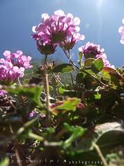 temporary summer. (lizmonsterx) Tags: arizona sun flower nature outside focus cmwdgreen