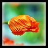 SHADHINOTA 7/40 [ Solidarity with BANGLADESH from Italy ] (dClaudio [homofugit]) Tags: red paris flower closeup rouge nikon bokeh poppy d90 mygearandme mygearandmepremium mygearandmebronze mygearandmesilver mygearandmegold mygearandmeplatinum mygearandmediamond