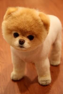 boo_Pomeranian_Dog_45