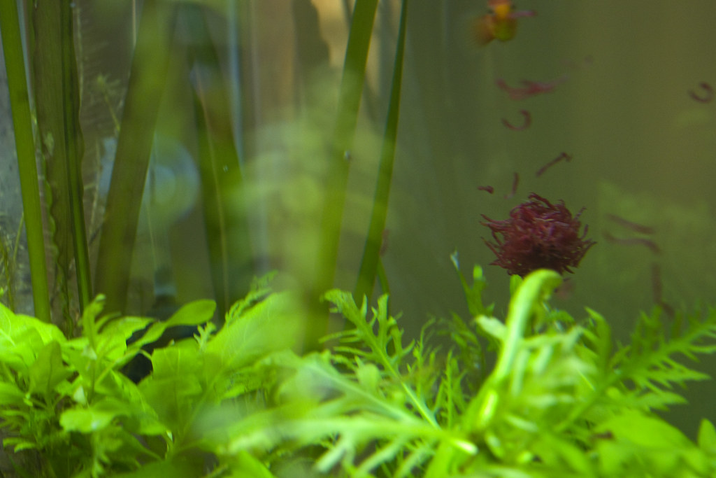 how to breed bloodworms for fish
