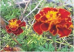 Cravinhos naturais (Roseli Magri) Tags: de plantas fotos e naturais flôres artificiais flôresnaturais flôresartificiais flôreseplantas