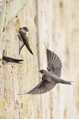 Final Approach (ShaftInAction) Tags: sandmartin ripariariparia blashford farnfield