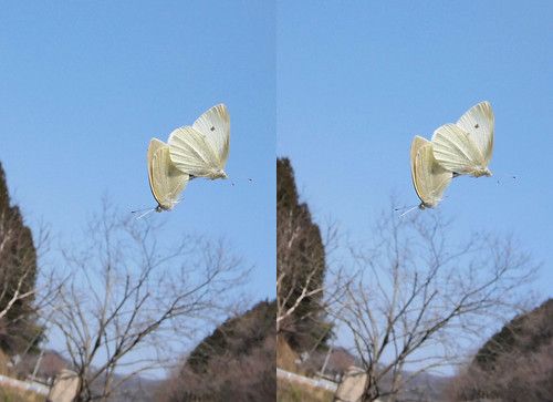 Pieris rapae, stereo parallel view