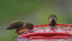 A Pair of Wet Rufous Hummingbirds (Tom in Tacoma) Tags: bird birds canon hummingbird sensational birdwatcher rufoushummingbird canon7d specialshotswelltaken