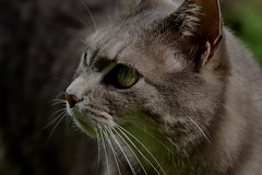 What is there to see? (Traveller_40) Tags: pet animal cat grey tiere kitten feline dof bokeh kitty grau depthoffield whiskers katze gatto auge katzen tier watchingyou schnurrbart kuscheln raubkatze schmusen schnurren stubentiger schmusekatze depthof widkatze