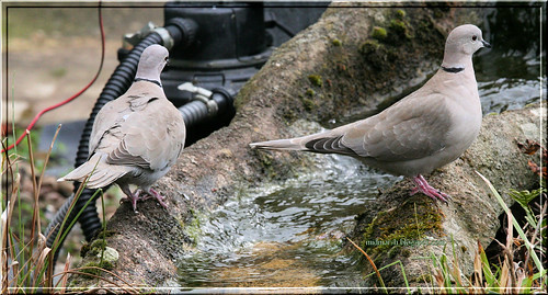 Pond Visitor - Collared Doves