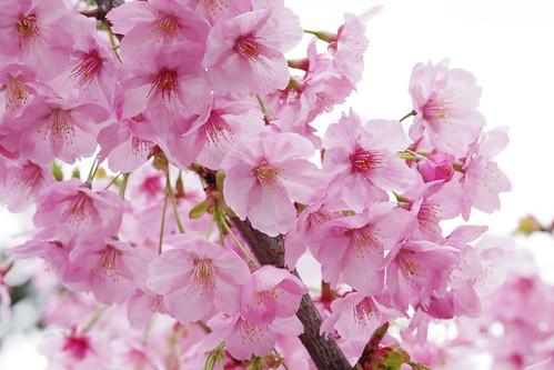 Yoko sakura