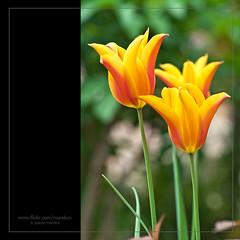 Tulips III (morebcn) Tags: rojo flor amarillo naranja tulipan bellvei