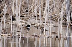 b249 Hooded Mergansers (Chungking Express) Tags: birds wisconsin reeds spring nikon aves boardwalk marsh hoodedmerganser lophodytescucullatus anatidae anseriformes 300mmf4 horiconmarsh lightroom3 d7000