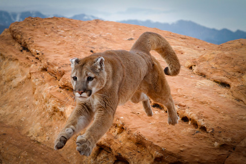 Mountain lion-5.jpg