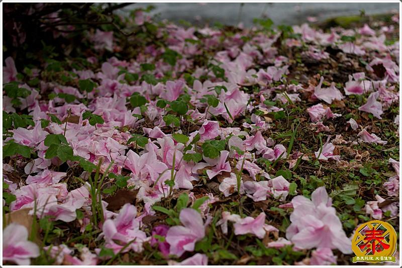 2011-03-26-台大杜鵑花 (4)