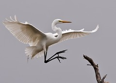 Great Egret in flight (daveinhst) Tags: white bird island high texas great gray flight smith oaks egret rookery 167 0325 040111 doublyniceshot tripleniceshot mygearandme mygearandmepremium mygearandmebronze