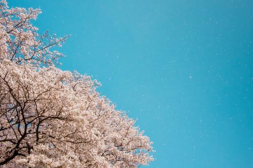 13304 Sakura2011 #4