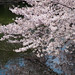 Sakura and Sky Reflect on a Pond