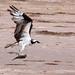 Osprey, Lower Rio Grande Valley National Wildlife Refuge