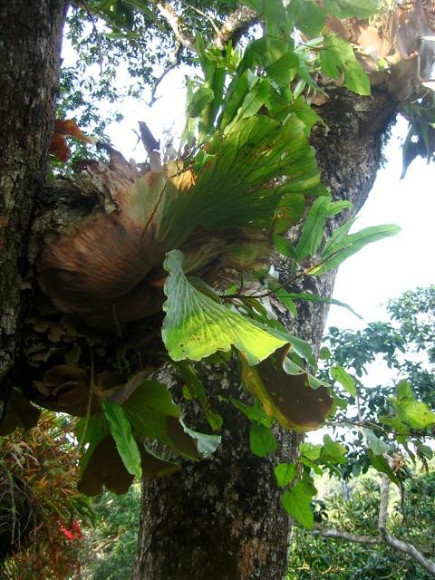 Expédition Sangha 2010 : fougères épiphytes