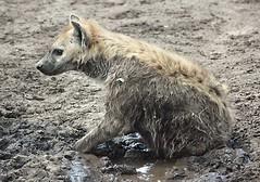 Serengeti Hyena 1