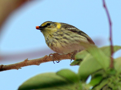 Cape May Warbler female 2-20110412