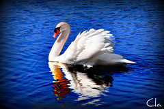 One upon a time an ugly duckling ... (dClaudio [homofugit]) Tags: blue lake water swan saturated nikon colours cartoon duckling disney ugly pp fairytales d90 mygearandme mygearandmepremium mygearandmebronze