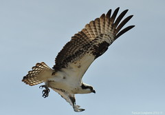 Osprey (Pandion haliaetus) ~ Explored (Photography Through Tania's Eyes) Tags: brown white canada bird nature animal fauna photography photo wings nikon photographer bc image hawk britishcolumbia okanagan wildlife beak feathers photograph summerland osprey birdofprey yelloweyes pandionhaliaetus talons okanaganvalley sunoka nikond90 copyrightimage taniasimpson