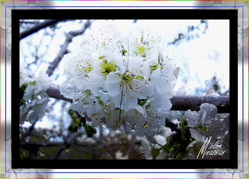 Cherry Bloom For You Maral