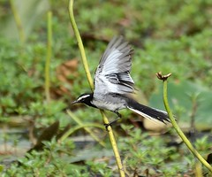 white-browed wagtail (as_kannan) Tags: motacillamadaraspatensis ragihalli