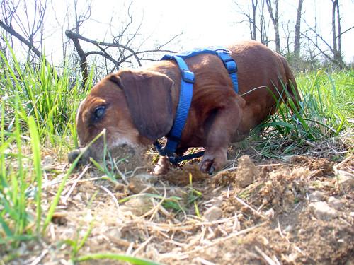 2011-04-13 - Ralphie & Rennie Digging - 0026