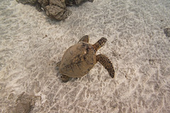 sand and turtle (bluewavechris) Tags: ocean life sea brown green nature water animal swim canon hawaii sand marine underwater snorkel reptile wildlife dive shell maui creature flipper t1i