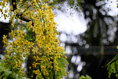 Sonalu ,[ Golden Shower ] (HamimCHOWDHURY  [Active 01 Feb 2016 ]) Tags: life blue red portrait blackandwhite white black green nature canon eos colorful faces blu sony surreal dhaka vaio rgb bangladesh gettyimages dlsr floweryellow 60d incrediblebengal hamimchowdhury 595036 framebangladesh gettyimagesbangladeshq2