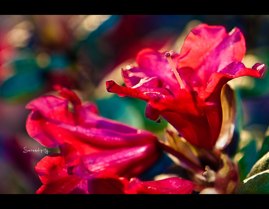 Project 365, Day 254, 254/365, Strobist, Bokeh, Flower, Red, Serendipity, close up, makro, Canon Ef 24-70 f2.8,