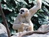 Female Gibbon (bookworm1225) Tags: march minnesotazoo 2011 tropicstrail