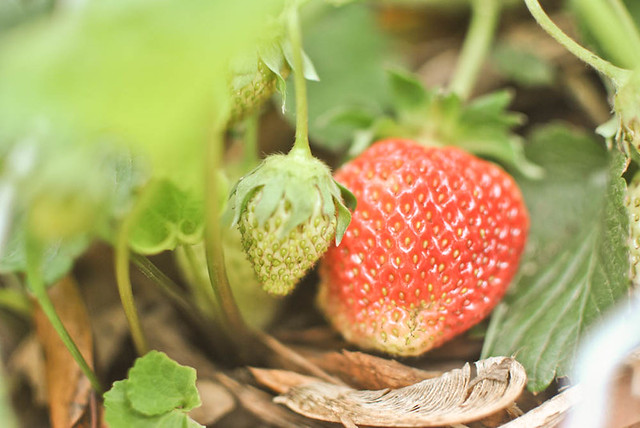 strawberries in our garden