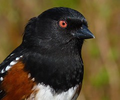 For Those Of You Who Like A Spot Of Towhee In The Morning! (ebirdman) Tags: male spotted towhee spottedtowhee pipilomaculatus pipilo maculatus