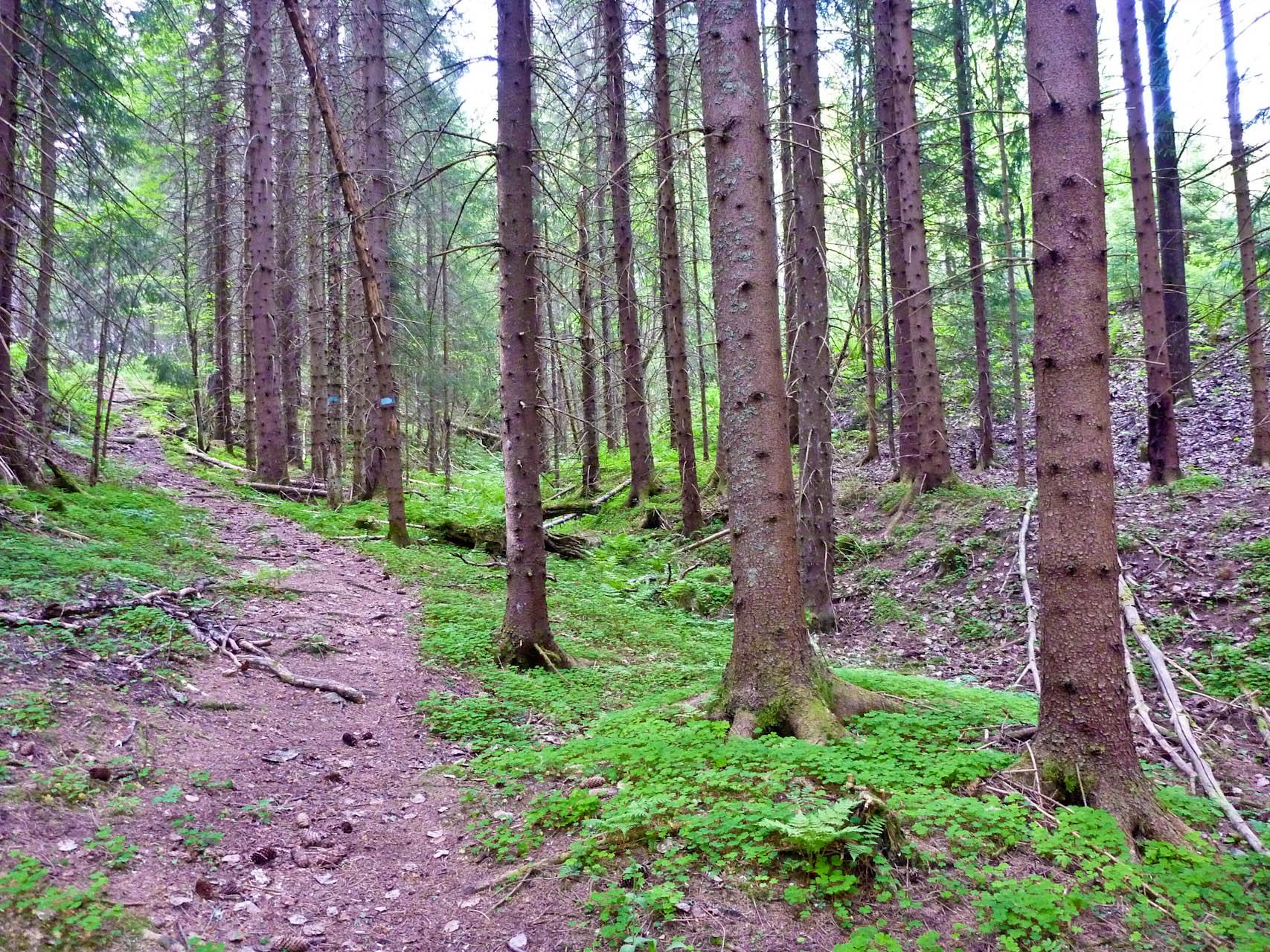 Gammel granskog på Krokskogen