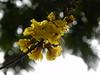 Copper Pod flowers (Shomirroy) Tags: flowers yellow bokeh copperpod fiftyplus nikoncoolpixp100