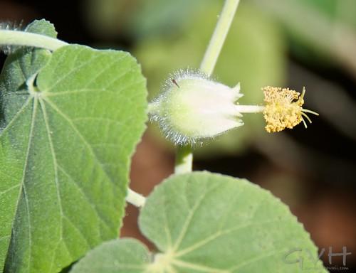 Hibiscus - ilima kuahiwi