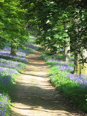 The Path Through The Bluebell Woods (Louise and Colin) Tags: uk blue light england green english beautiful bluebells woodland spring woods track shadows britain path surrey shade british lovely rowan nationaltrust hascombe springtime mountainash winkwortharboretum areaofoutstandingnaturalbeauty surreyhillsaonb