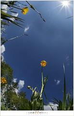 Reaching for the sun (1D086564) (nandOOnline) Tags: summer sky sun plant flower nature landscape spring buttercup nederland lucht zon landschap bloem boterbloem ranunculusrepens nbrabant bakel