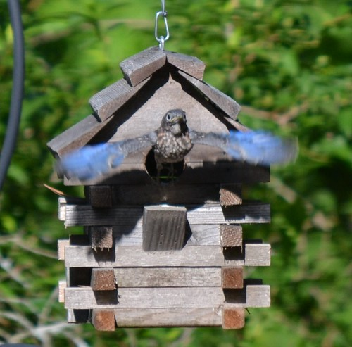 The Second Eastern Bluebird to leave the nest box.