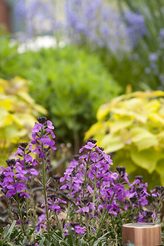 Erysimum and agastache
